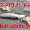 Anamur'da Ölü Fok Kıyıya Vurdu