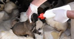 Yavru Köpekler Karantinaya Alındı