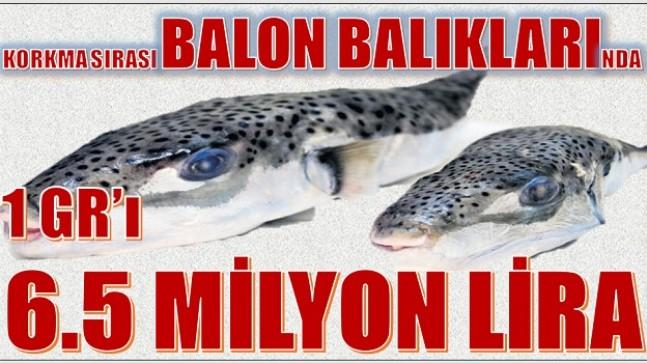 BALON BALIĞI KIYMETE BİNİYOR ; 1 Gr'ı 6.5 Milyon Lira